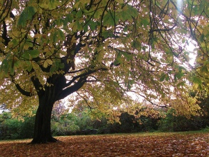 Chestnut tree in a Glasgow park