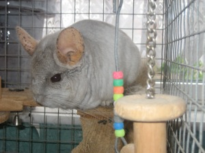 Our chinchilla