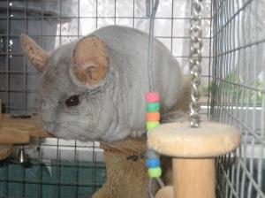 Our chinchilla