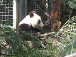 Young panda at San Diego zoo