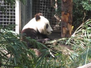 Young panda at San Diego zoo