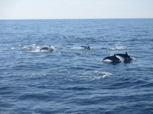 Common dolphins near San Diego