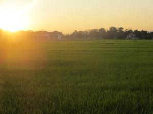 Rice paddy at sunset