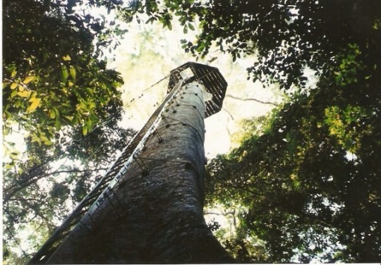A tree in the Bornean jungle, complete with a ladder to climb it