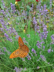 An orange butterfly with black spots sitting on lavendar